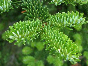 Fraser Fir Christmas Tree | OrnamentShop.com