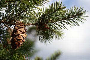 Douglas Fir Christmas Tree | OrnamentShop.com