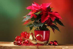 Add Color To Your Decorations Using Poinsettias | OrnamentShop.com